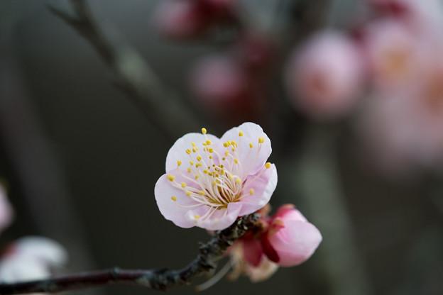 小田原フラワーガーデン【早咲きの梅:紅冬至】5