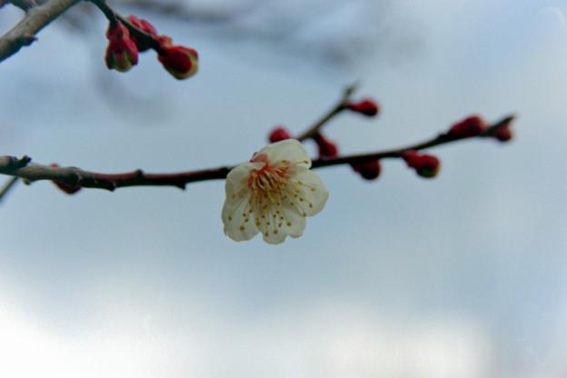 小田原フラワーガーデン【早咲きの梅:十郎】銀塩