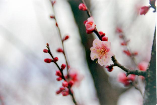 小田原フラワーガーデン【早咲きの梅:一郎】銀塩