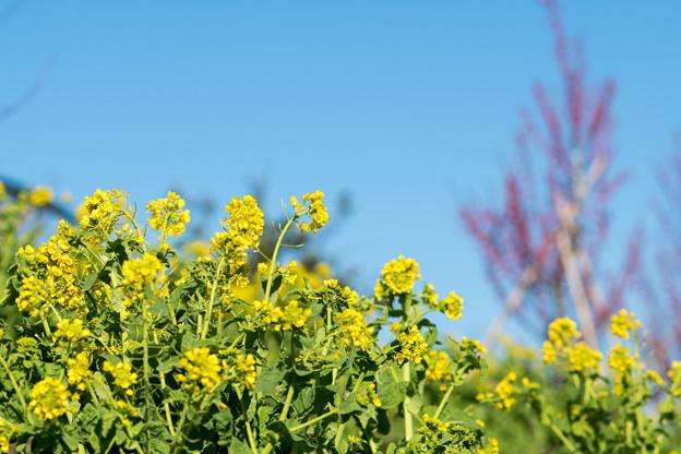 花菜ガーデン【菜の花】2