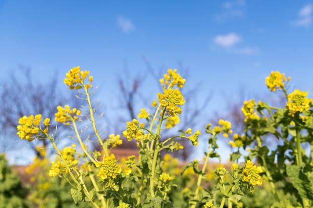 花菜ガーデン【菜の花】3