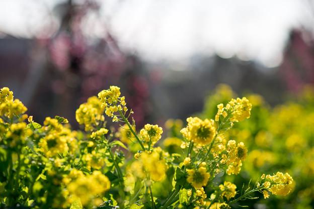 花菜ガーデン【菜の花】5