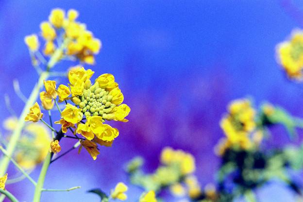 花菜ガーデン【菜の花】6銀塩