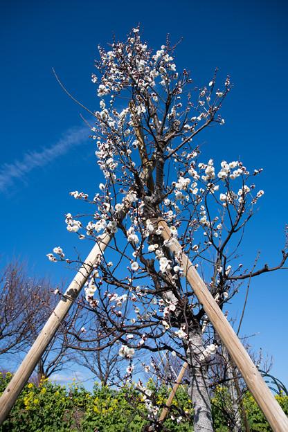 花菜ガーデン【梅の花:八重冬至】1