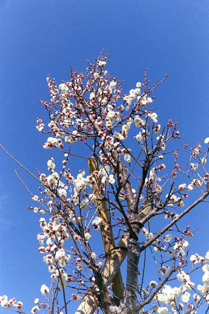 花菜ガーデン【梅の花:八重冬至】2銀塩