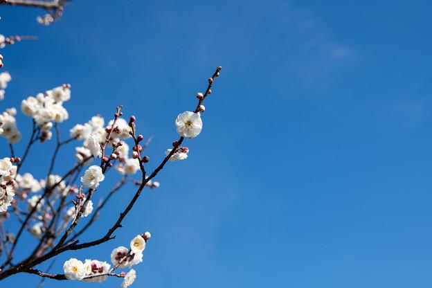 花菜ガーデン【梅の花:八重冬至】3