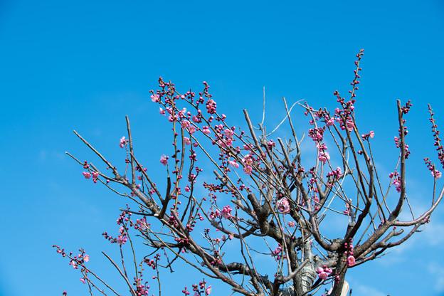 花菜ガーデン【梅の花:道知辺】1