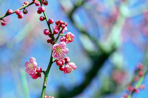 花菜ガーデン【梅の花:道知辺】2銀塩
