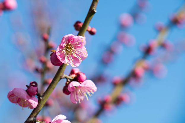 花菜ガーデン【梅の花:道知辺】3