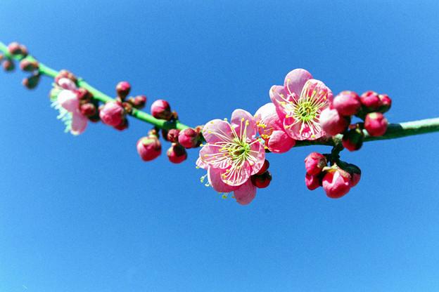 花菜ガーデン【梅の花:道知辺】4銀塩