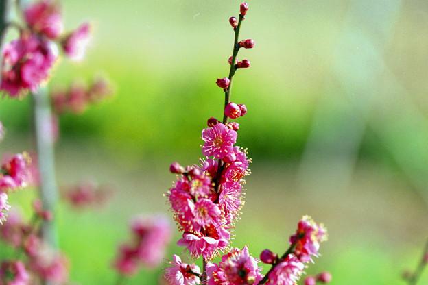 花菜ガーデン【梅の花:道知辺】5銀塩