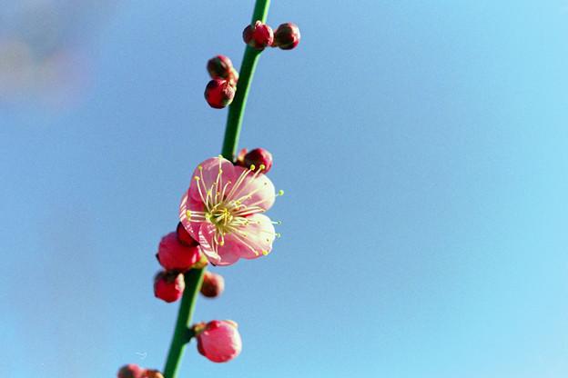 花菜ガーデン【梅の花:道知辺】6銀塩