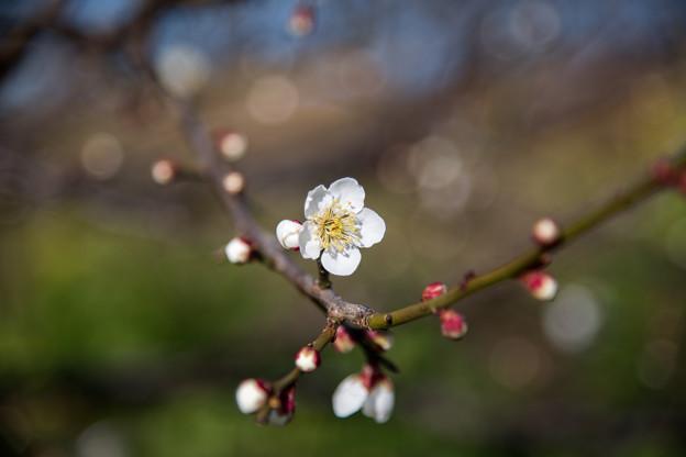 花菜ガーデン【梅の花:南高】1