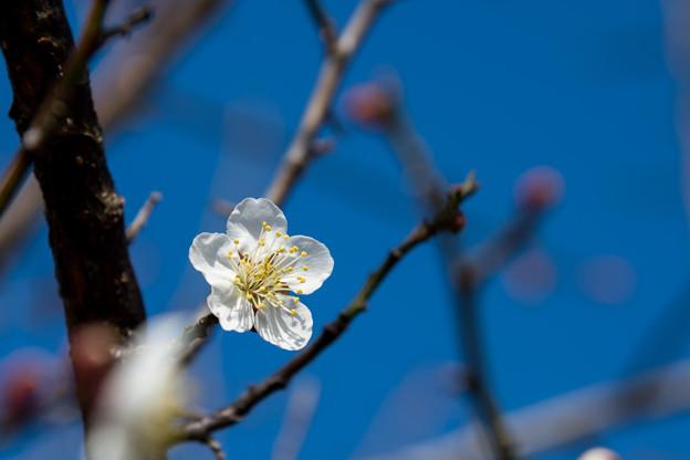花菜ガーデン【梅の花:南高】2