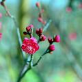 花菜ガーデン【梅の花:八重寒紅】1銀塩