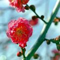 花菜ガーデン【梅の花:八重寒紅】2銀塩