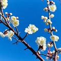 花菜ガーデン【梅の花:白加賀】1銀塩