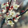 花菜ガーデン【梅の花:白加賀】2銀塩