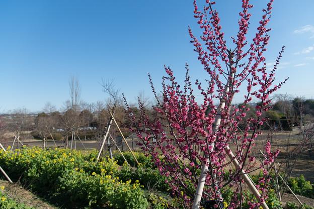 花菜ガーデン【梅の花:大盃】1
