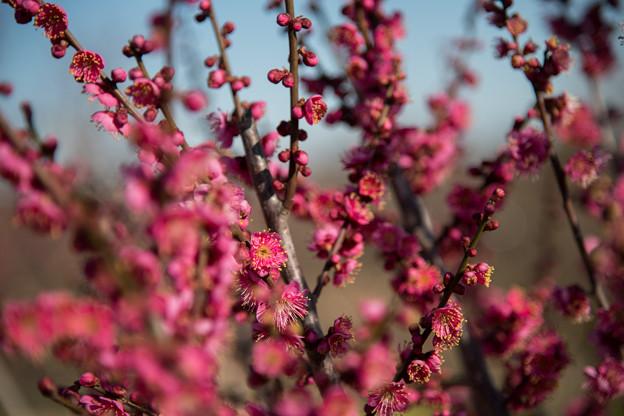 花菜ガーデン【梅の花:大盃】2