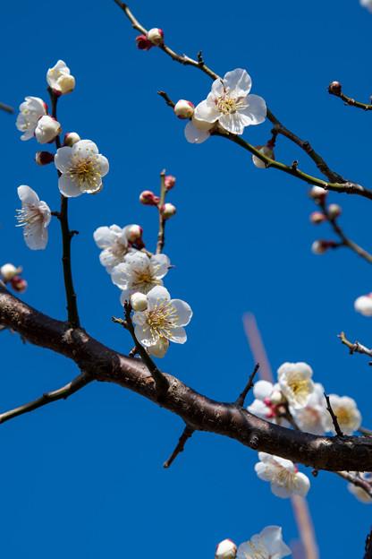 花菜ガーデン【梅の花:十郎】1