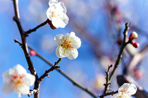 花菜ガーデン【梅の花:十郎】2銀塩