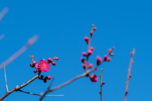 花菜ガーデン【梅の花:鹿児島紅】1