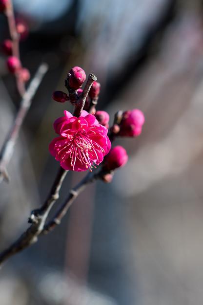花菜ガーデン【梅の花:鹿児島紅】2