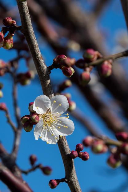 花菜ガーデン【梅の花:甲州最小】