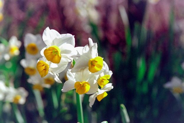 花菜ガーデン【スイセン】3銀塩