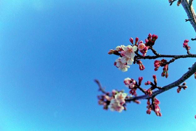 花菜ガーデン【寒桜】銀塩