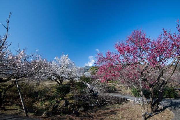 小田原フラワーガーデン【渓流の梅園の眺め】5