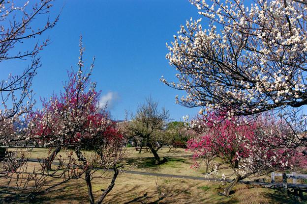 小田原フラワーガーデン【渓流の梅園の眺め】8銀塩