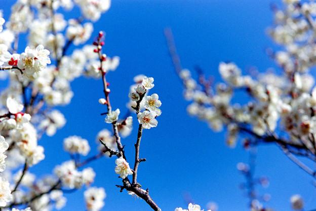 小田原フラワーガーデン【渓流の梅園:冬至】4銀塩