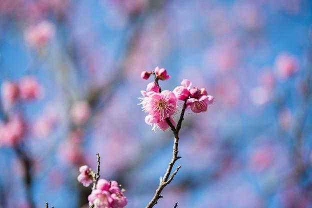 小田原フラワーガーデン【渓流の梅園:道知辺】4
