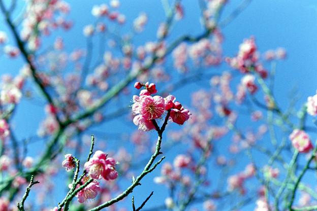 小田原フラワーガーデン【渓流の梅園:道知辺】1銀塩