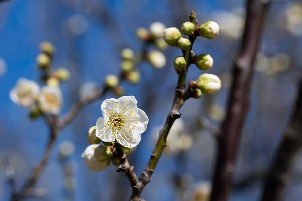 小田原フラワーガーデン【渓流の梅園:一重緑萼】3
