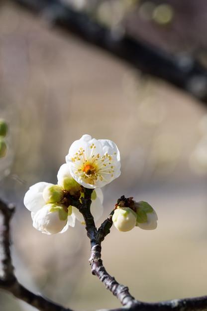 小田原フラワーガーデン【渓流の梅園:一重緑萼】4