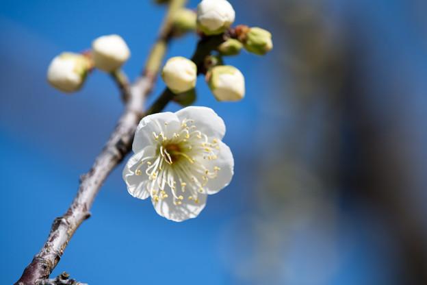 小田原フラワーガーデン【渓流の梅園:一重緑萼】5