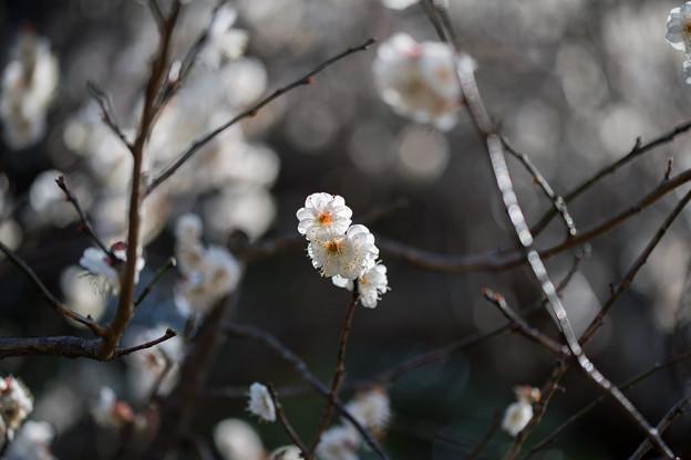 小田原フラワーガーデン【渓流の梅園:乙女の袖】