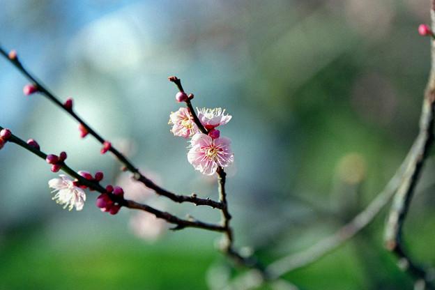 小田原フラワーガーデン【渓流の梅園:舞扇】銀塩