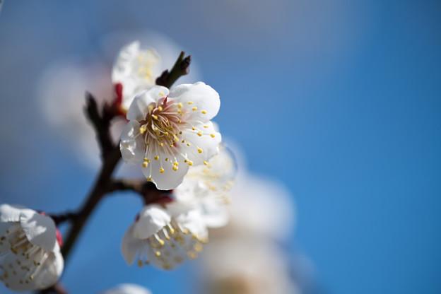 小田原フラワーガーデン【渓流の梅園:雪月花】
