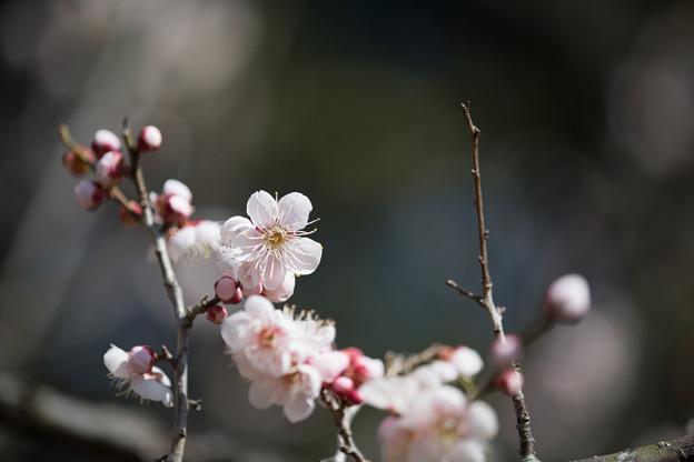 小田原フラワーガーデン【渓流の梅園:塒出の鷹】