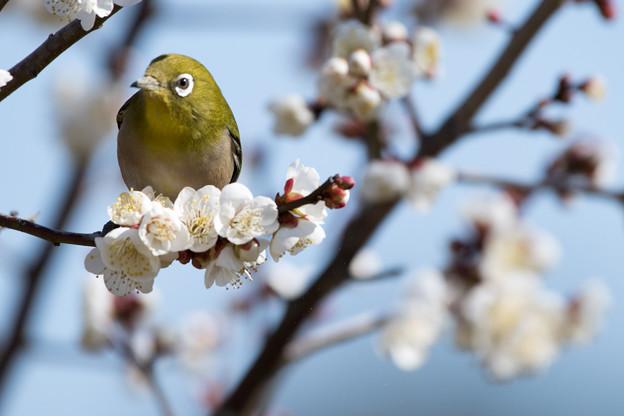 小田原フラワーガーデン【渓流の梅園に舞うメジロ】7