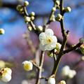 府中市郷土の森【梅の花:月影】3