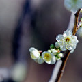府中市郷土の森【梅の花:月影】4銀塩