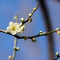 府中市郷土の森【梅の花:月影】5