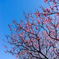 府中市郷土の森【梅の花:唐梅】2