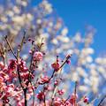 府中市郷土の森【梅の花:唐梅】4