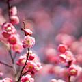 府中市郷土の森【梅の花:唐梅】5